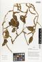 Flora of Ucayali, Peru: Chamissoa altissima var. altissima, Peru, J. G. Graham 341, F