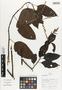 Flora of Ucayali, Peru: Chamissoa altissima (Jacq.) Kunth, Peru, J. Schunke Vigo 15343, F