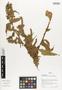 Flora of Ucayali, Peru: Chamissoa altissima var. rubella Suess., Peru, J. G. Graham 589, F