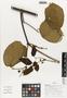 Flora of Ucayali, Peru: Stizophyllum inaequilaterum Bureau & K. Schum., Peru, J. Schunke Vigo 15997, F