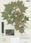 Acer cappadocicum subsp. sinicum (Rehder) Hand.-Mazz., China, D. E. Boufford 35562, F