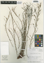 Flora of the Lomas Formations: Limonium plumosum (Phil.) Kuntze, Chile, M. O. Dillon 5514, F