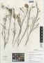 Flora of the Lomas Formations: Limonium plumosum (Phil.) Kuntze, Chile, M. O. Dillon 8095, F