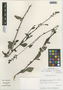 Flora of the Lomas Formations: Plumbago coerulea Kunth, Chile, M. O. Dillon 5532, F