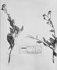 Encelia hispida image