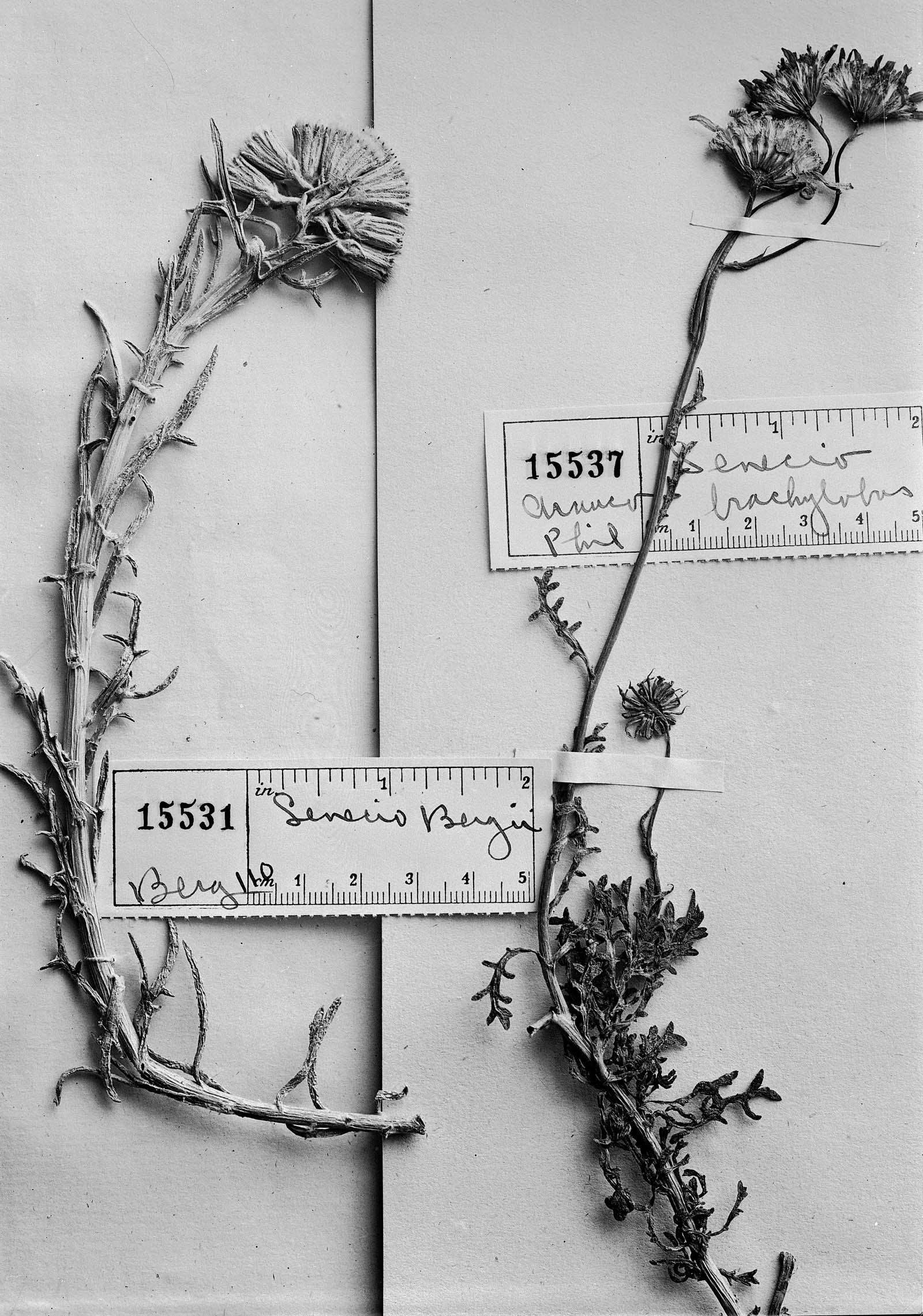 Senecio brachylobus image