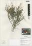 Flora of the Lomas Formations: Limonium plumosum (Phil.) Kuntze, Chile, M. O. Dillon 8162, F