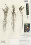 Flora of the Lomas Formations: Limonium plumosum (Phil.) Kuntze, Chile, M. O. Dillon 5261, F