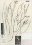 Flora of the Lomas Formations: Limonium plumosum (Phil.) Kuntze, Chile, S. A. Teillier 2735, F