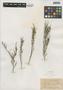 Flora of the Lomas Formations: Limonium plumosum (Phil.) Kuntze, Chile, T. Morong 1170, F