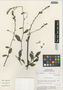 Flora of the Lomas Formations: Plumbago scandens L., Peru, M. O. Dillon 4099, F
