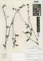 Flora of the Lomas Formations: Plumbago coerulea Kunth, Chile, M. O. Dillon 5756, F