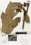 Flora of Ucayali, Peru: Protium Burm. f., Peru, J. G. Graham 1008, F