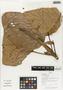 Flora of Ucayali, Peru: Coussapoa villosa Poepp. & Endl., Peru, J. G. Graham 2351, F