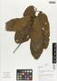 Flora of Ucayali, Peru: Sloanea, Peru, J. G. Graham 2334, F