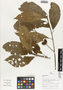 Flora of Ucayali, Peru: Sloanea, Peru, J. Schunke Vigo 15324, F