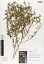 Flora of Ucayali, Peru: Sida glomerata Cav., Peru, J. G. Graham 512, F