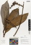 Flora of Ucayali, Peru: Stylogyne cauliflora (Mart. & Miq.) Mez, Peru, J. G. Graham 484, F