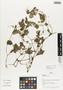 Flora of Ucayali, Peru: Peperomia pellucida (L.) Kunth, Peru, J. G. Graham 331, F