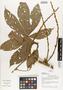 Flora of Ucayali, Peru: Paullinia echinata Radlk., Peru, J. G. Graham 428, F