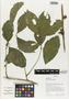 Flora of Ucayali, Peru: Paullinia exalata Radlk., Peru, J. G. Graham 668, F