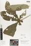 Flora of Ucayali, Peru: Aegiphila cuneata Moldenke, Peru, J. G. Graham 173, F