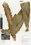 Costus guanaiensis image