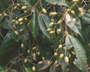 Flora of Ucayali, Peru: Myrcia splendens (Sw.) DC., Peru, J. Schunke Vigo 15318, F