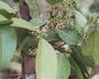 Flora of Ucayali, Peru: Pristimera celastroides (Kunth) A. C. Sm., Peru, J. Schunke Vigo 15341, F