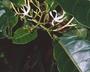 Flora of Ucayali, Peru: Rhigospira quadrangularis (Müll. Arg.) Miers, Peru, J. G. Graham 2250, F