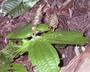 Flora of Ucayali, Peru: Triolena amazonica (Pilg.) Wurdack, Peru, J. G. Graham 599, F