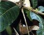 Flora of Ucayali, Peru: Protium Burm. f., Peru, J. G. Graham 918, F