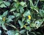 Acmella ciliata image