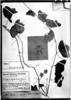 Passiflora leptoclada image