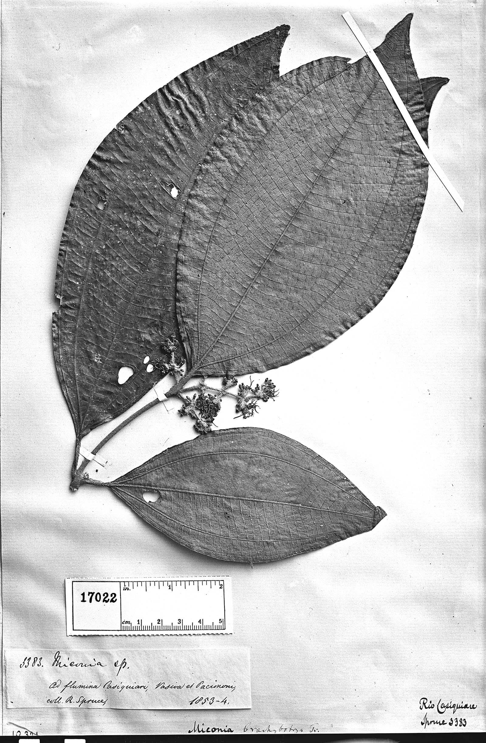 Miconia brachybotrya image