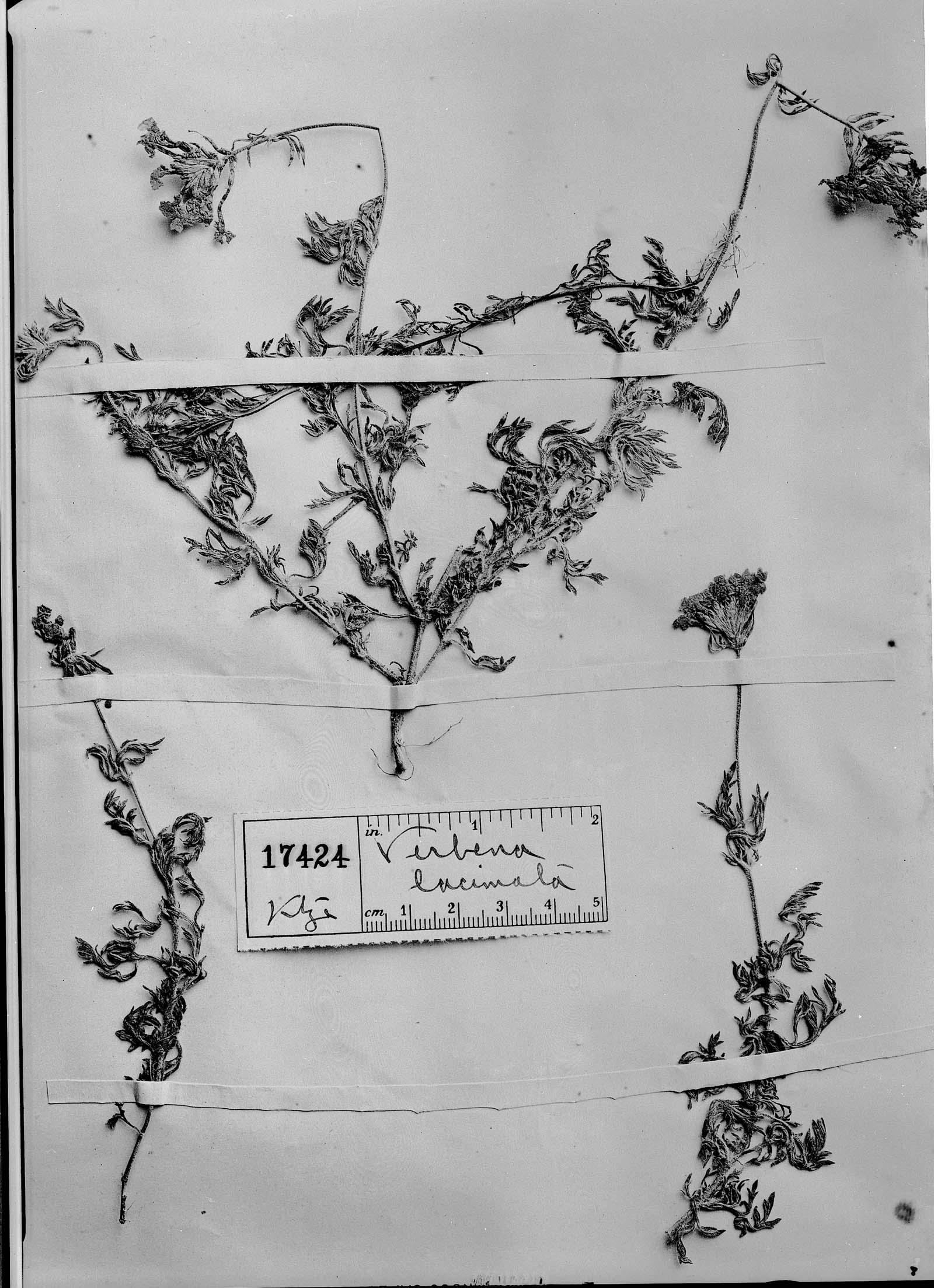 Verbena laciniata image