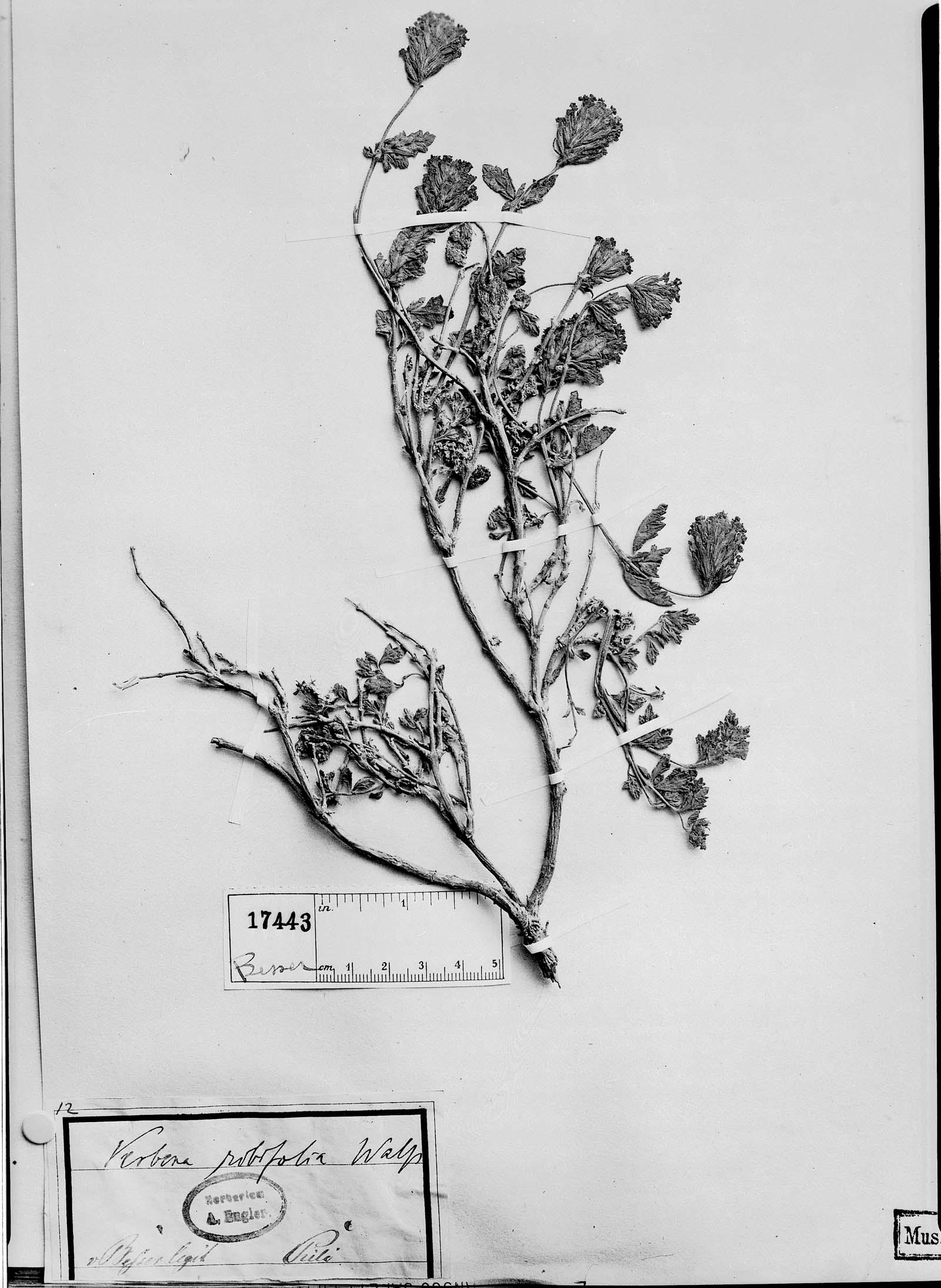Verbena ribifolia image