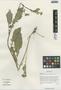 Rorippa elata (Hook. f. & Thomson) Hand.-Mazz., China, D. E. Boufford 33260, F