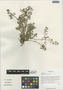 Rorippa palustris (L.) Besser, China, D. E. Boufford 33267, F