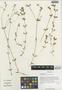 Cerastium furcatum Cham. & Schltdl., China, D. E. Boufford 32670, F
