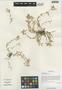 Cerastium pusillum Ser., China, D. E. Boufford 27519, F