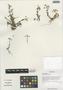 Cerastium pusillum Ser., China, D. E. Boufford 29741, F