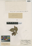 Paullinia selenoptera f. setuligera Radlk., BRAZIL, E. H. G. Ule 5818, Isotype, F