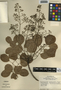 Metopium brownei (Jacq.) Urb., Guatemala, E. Contreras 5527, F