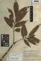 Tapirira mexicana Marchand, Honduras, T. G. Yuncker 5554, F