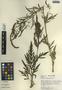 Ambrosia peruviana Willd., Peru, S. T. McDaniel 23035, F