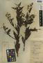 Baccharis trinervis Pers., Belize, W. A. Schipp 166, F