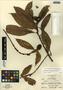 Hedyosmum mexicanum C. Cordem., Guatemala, A. Molina R. 12309, F
