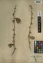 Adelia oaxacana (Müll. Arg.) Hemsl., Mexico, G. F. Gaumer 446, F