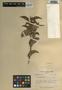 Croton niveus Jacq., Guatemala, F. E. Egler 42-197, F